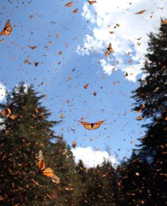 Monarch Migration: Sonia Altizer